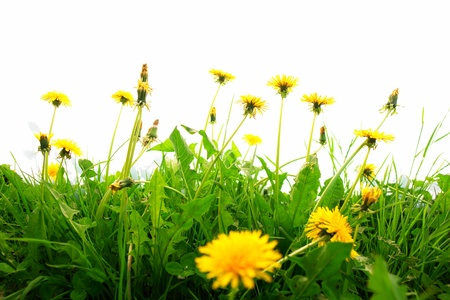Springflowers isolated on white background with grass and soil........... photo