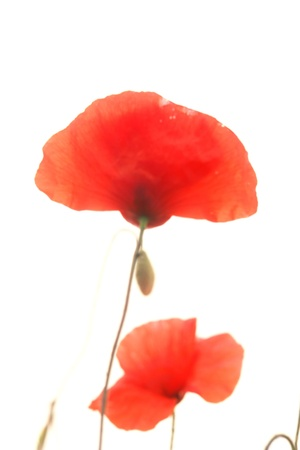 red poppies isolated on a white background photo