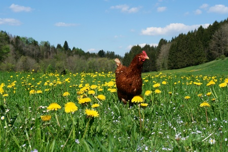 on pasture: Hen outside in the meadow at spring