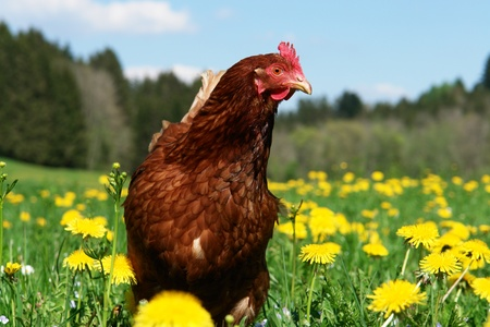 Hen outside in the meadow at springtime Stock Photo - 9076732