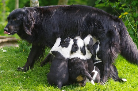 Dog breast-feed it puppies outside in the meadow Stock Photo - 9078583