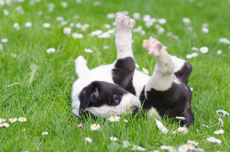 cute puppies in the meadow in spring time Zdjęcie Seryjne - 9076714