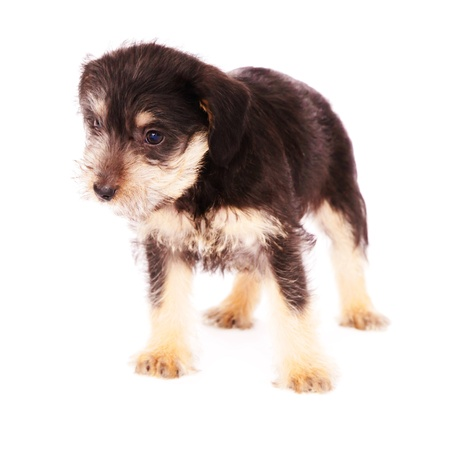 little puppies isolated on a white background Stock Photo - 9143215