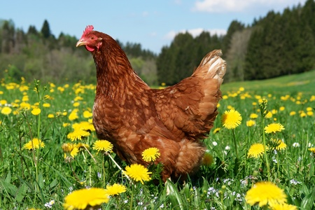 Hen outside in the meadow at springtime photo