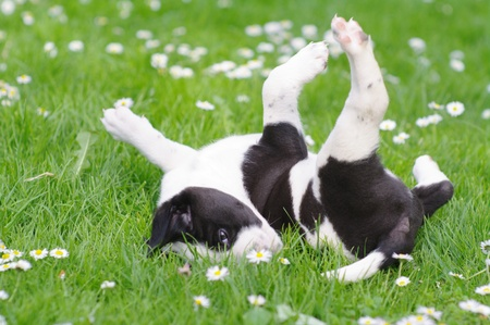 Agility: cute puppies in the meadow in spring time Stock Photo