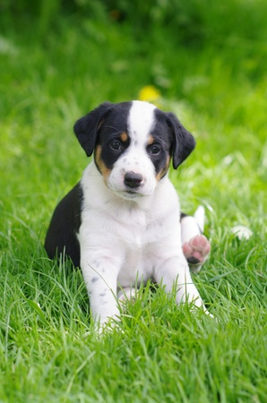cute puppies in the meadow in spring time Stock Photo