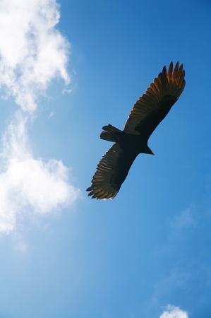 adler silhouette: Bild von einem fliegenden Adler infront wunderbaren Wolken