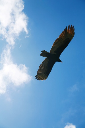 flying eagle: Picture of a flying eagle infront of wonderfull clouds