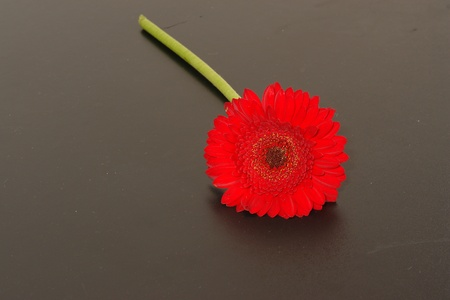 beautiful red Gerbera on background photo