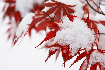 bleak: Close-up of a red tree with snow on it Stock Photo