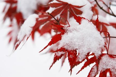 desolaci�n: Primer plano de un �rbol de color rojo con la nieve en �l Foto de archivo