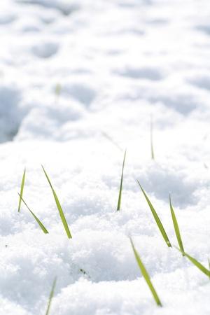 beautiful winter mood.grass looking through snow photo