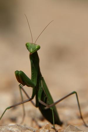 mantid: close-up of a praying mantis.