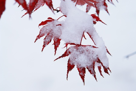 hoary: Close-up of a red tree with snow on it Stock Photo