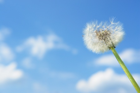 blowball dandelion clock at springtime in the wind photo