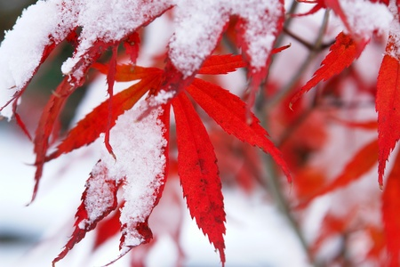 Close-up of a red tree with snow on it photo