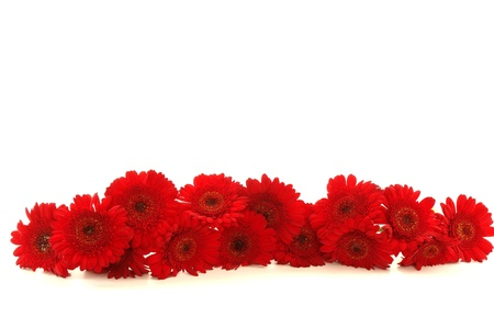 gerber: beautiful red Gerbera on background