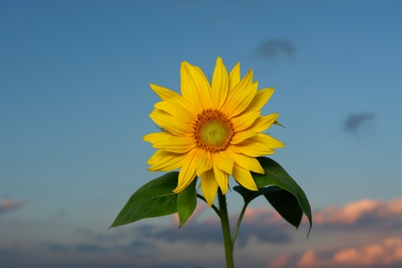 sunflower against sunset. on a sunny day photo