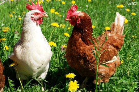 hens: Hen outside in the meadow at springtime