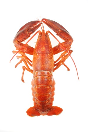 A large red lobster over white background Stock Photo