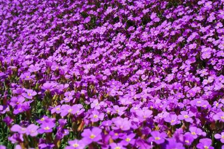 violett: Close-up of some violett flowers sea of flowers