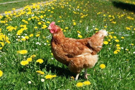 Hen outside in the meadow at spring photo