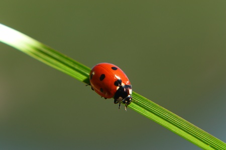 a ladybug on a blade of green grass Stock Photo - 14300887