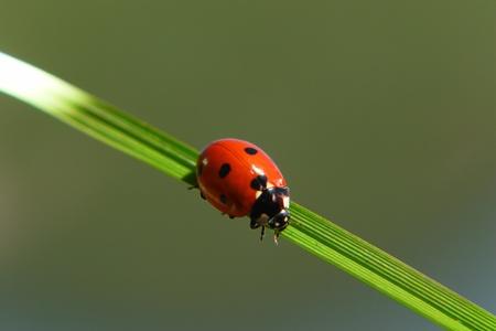 buena suerte: una mariquita sobre una hoja de hierba verde Foto de archivo