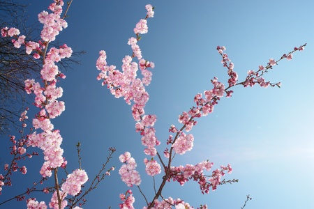 zbliżenie różowy cherry kwiatów drzewa Zdjęcie Seryjne