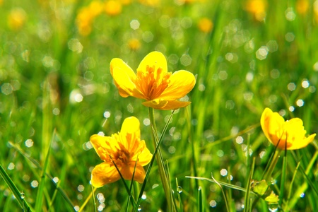 buttercup flower: beautiful spring flowers on a sunny day