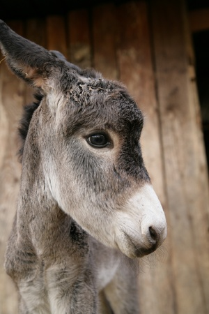 a close encounter with an ass donkey photo