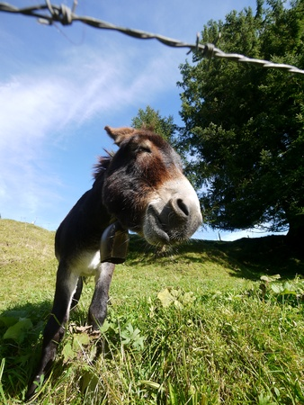A donkey standing on grass behind a fench photo