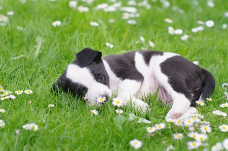 cute puppies in the meadow in spring time Stock Photo - 16834551
