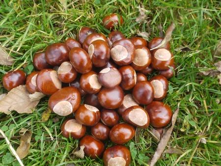 conker: horse chestnut buckeye conker outside in the wood