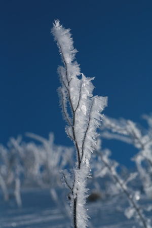 iceflower: Ice on plant at a very cold day