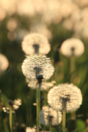 The dandelions blowballs are ready to start seeds downwind  photo