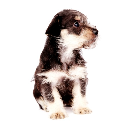 terrestrial mammal: little puppies isolated on a white background