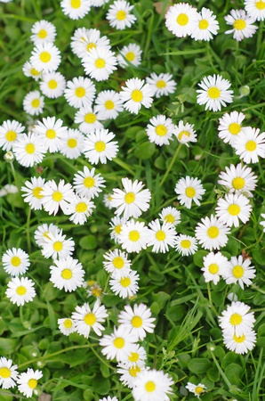 daisy stem: Daisies in the meadow at spring outside Stock Photo