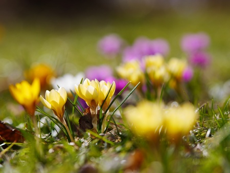 Blooming crocus in a meadow photo