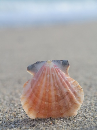 pearly: beach shell in white sand like a summer vacation Stock Photo