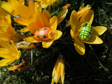 Easter eggs in front of crocuses photo