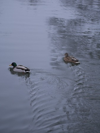 mated: ducks swimming in a pond