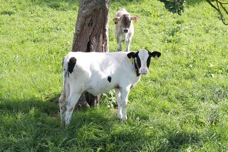 fresian: frisian calf looking curious at the photographer