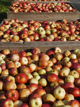 freshly picked: Freshly picked red apples in a crate Stock Photo