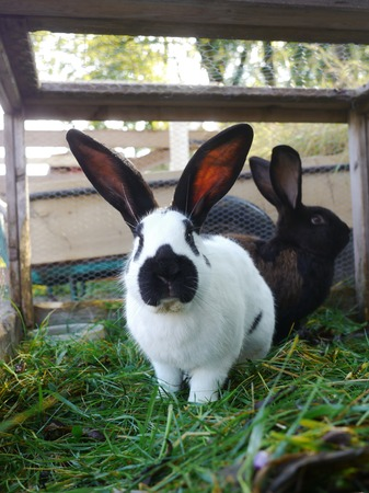 the hutch: Black and white rabbit in a cage