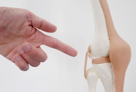 ligaments: Close-up of hands pointing of a model of a knee joint