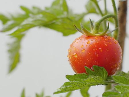 invernadero: tomate rojo crecimiento en invernadero Foto de archivo