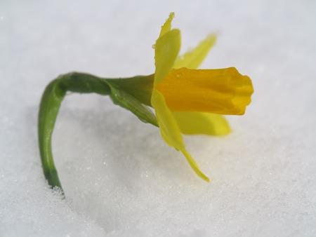 outdoor shot: Outdoor shot of yellow daffodils Stock Photo