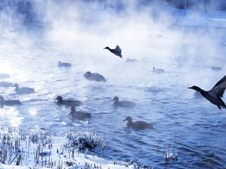 pato: Patos salvajes que vuelan en el invierno