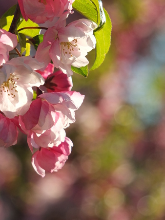 almond bud: apple flowers and buds blooming at spring